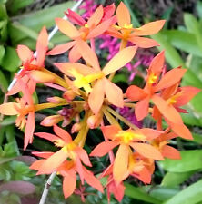 Crucifix Epidendrum Orchid X2 shoots/keikis ORANGE/RED