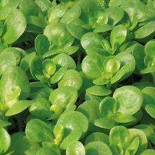 Kings Seeds - Purslane (Portulaca oleracea) Golden - 250 Seeds