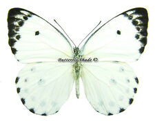 Unmounted Butterfly/Pieridae - Belenois calypso dentigera, male, CAR