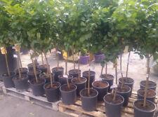 pianta albero mandarino clementino arancio agrumi Citrus clementina in vaso