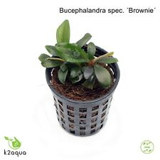 Bucephalandra spec. ´Brownie´ Live aquarium Plants Shrimp & Snail Safe Low Tech