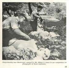 1956 Sheep-shearing Near Brentwood Photo By Milner James
