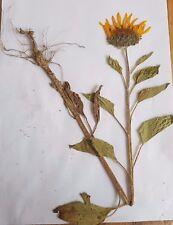 3 Pflanzen,Herbarium, 3 Ölpflanzen mit Wurzeln, Landwirtschaft, Agrar, Uni.