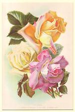 Rosa Tea Rose - Cromolitografia Originale 1800 Chromolithograpy Flower Fiori