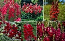 SnapDragon Ruby Red Rocket Annual Flowers that Reseed Over 50 Seeds 4 U