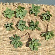 10 Aeonium Haworthii Pinwheel Succulent cuttings