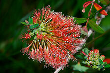 Red Flowered Honey Myrtle 200 Seeds Good Screen Plant Native