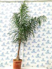 syagrus romanzoffiana 200-220 cm cultivo exterior maceta 15 litros