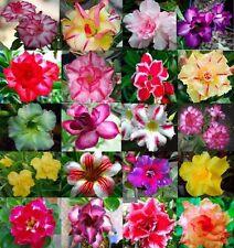 20 Pcs Desert Rose Seeds ADENIUM OBESUM Perennial Flowers (MIXED COLOURFUL)