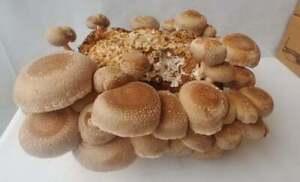 1 Block Grow Kit 3.25+lb Organic Shiitake Mushroom Block! Free Shipping! Easy!