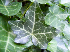 3X Southern Grown English Ivy Fast Growing 4-5' Rooted Cuttings Fall Planting