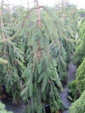 Hängerotfichte Inversa - Picea abies Inversa 60-70cm