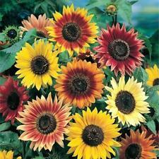 Autumn Beauty Sunflower Seeds for Planting | Non-Gmo | Fresh Garden Seeds