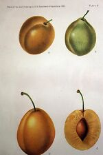 Antique Fruit Print 1893 PLUMS- Golden Yellow Color Lithograph USDA Engraved