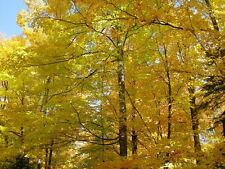 """15 SUGAR MAPLE TREE 6"""" - 10"""" SEEDLINGS WILL SHIP BARE ROOTED!"""