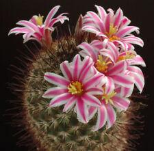 Mammillaria Cacti & Succulent Seeds