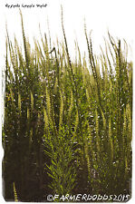 Soldadura Reseda luteola' ' [ex. Co. Durham, Inglaterra] 1000+ semillas