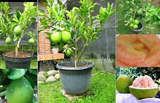 "SEEDS – Dwarf Thai Sweet Pomelo or Pummelo ""Citrus maxima"" – Grows well in pots!"