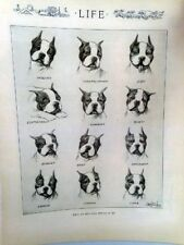 Boston Terrier Dogs 1919 Life Magazine Reprint What My Dog'S Face Reveals To Me