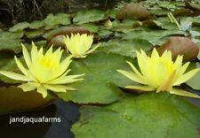 Small Yellow Water Lily 3 Plants Aquatic lilies koi pond garden J&J Aquafarms