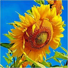 100+MAMMOTH GREY STRIPE SUNFLOWER Seeds Organic HUGE 9' Plant GIANT 2' Flowers