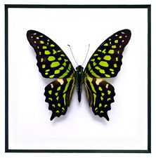 """REAL FRAMED BUTTERFLY - Graphium Agamemnon Andamana - ART OF INSECTS 11"""" x 14"""" 2"""