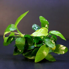Anubias Barteri Golden 2 pots - Live Aquarium Water Plants Fish Tank