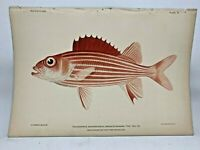 Antique Lithographic Print Reef Fishes Hawaiian Islands Bien 1903 Plate 9