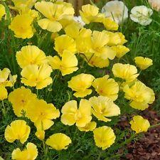 Eschscholtzia (Californian Poppy) - Butter Bush - 150 Seeds