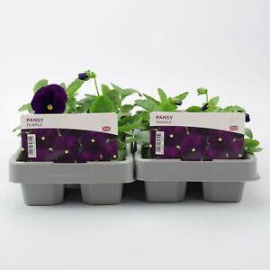 2 X Winter Pansy Purple 6 pack (12 Plants)