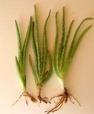 "Aloe Vera barbadensis Orange Flower Bloom. Three (3) Plant Pup Starters 5"" - 12"""