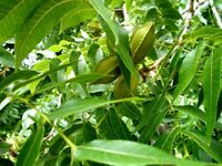 Live!!Pecan Tree 3-4ft!Grafted Podsednik 4 year