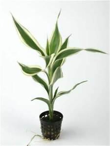 Dracaena Sanderiana potted plant Aquarium/Terrarium Aquatic Live Plant