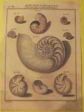 Planche sur les Coquillages Nautili , Nautile Coupe transversale