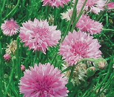 CORNFLOWER BACHELOR'S BUTTON PINK Centaurea Cyanus - 500 Seeds