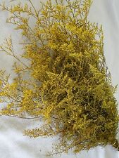 PRESERVED DYED YELLOW CASPIA FLORAL FOLIAGE FILLER FLOWER