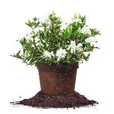 Radican Gardenia, Live Plant, Size: 1 Gallon