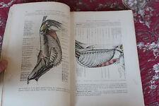 1937 Anatomie équidés cheval âne mulet N°I généralités animaux zoologie