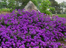 Moss Verbena Seeds, Violet, Perennial Groundcover Flower Seeds, Heirloom 75ct