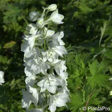 """Delphinium grandiflorum /""""White Butterfly/"""" Weisser Zwerg-Rittersporn"""