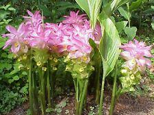 Curcuma Elata Hidden Lily Flower striking Fuschia Ginger plant 1 live rhizome