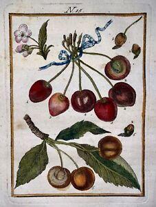 1790 CHERRY TREE - Joh. Sellerer hand coloured engraving