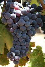 Grape Vine Black Hamburg