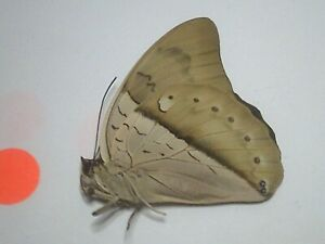 Dried Insect/Butterfly Non set B7493 Rare Large Blue Prepona amphimachus Peru