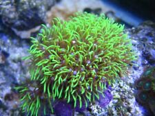 Live Green Star Polyp Coral Frag Saltwater Marine Gsp Polyps Reef Free Shipping