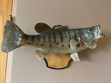 "20"" Large Mouth Bass Taxidermy Mount Fish Real Skin Mount Freshwater Plaque"