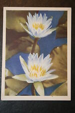 South African Water Lily    Vintage Early 1940's Illustrated Colour Card  VGC