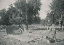 ARGENTINE c. 1952 - Récolte des Olives à Mendoza  - P 746