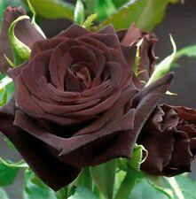 5 graines rosier chocolat