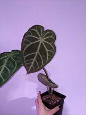 Anthurium Magnificum, rare aroid, no monstera philodendron syngonium